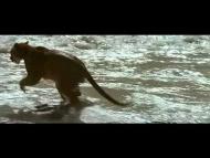 Cougar vs Bear Cub Must watch